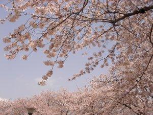春のイメージsaradayoshiko