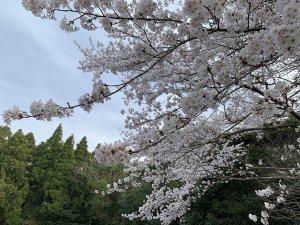 千葉県東金・桜